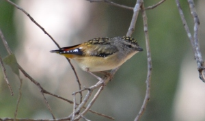 Female - Spotted Pardalote - Photo A Kittila