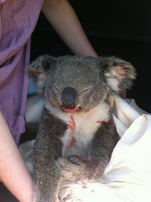 koalas crossing  u2013 don u2019t hit and run