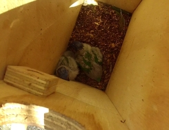 Rainbow Lorikeet chicks in nest-box