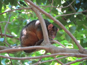 Ringtail Possum Pseudocheirus pereginus