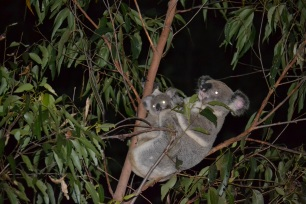 Koala and Joey - Fox Gully wildlife corridor