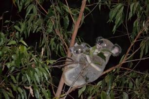 Koala and Joey - Fox Gully wildlife corridor