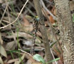 Dragonfly - 5 Jan 13