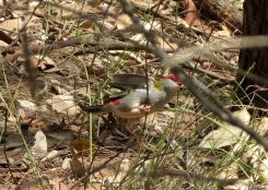 Red-browed Finch - 4 Feb 2013