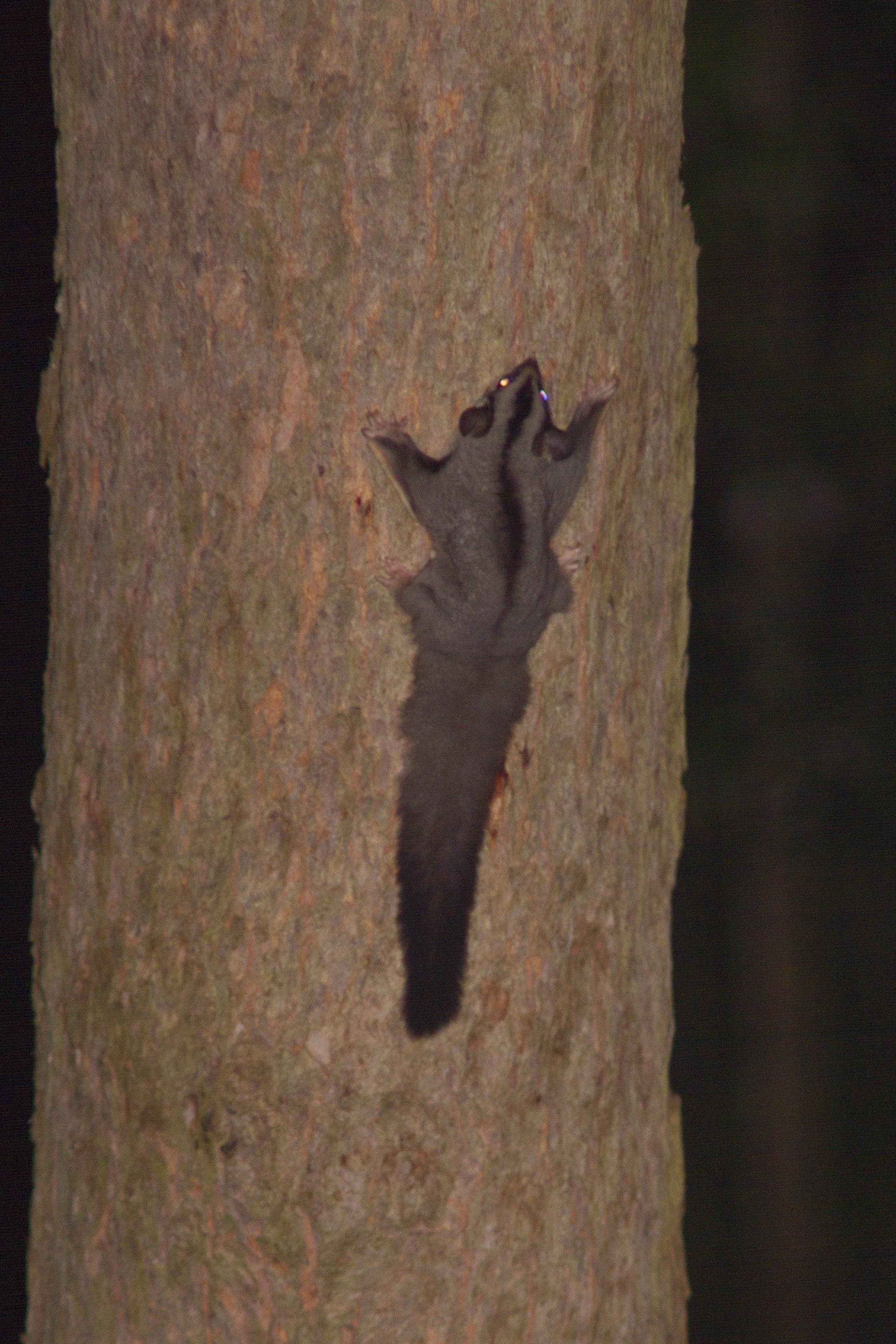 Squirrel Glider - A Moore - 21 March 11