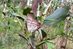 Imperial Hairstreak - 23 Mar 2013