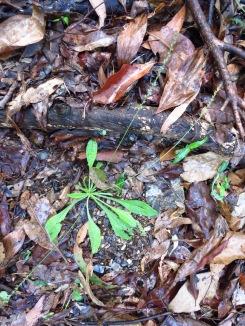 Plantago debilis - 7 Apr 2013