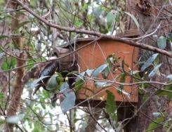 Kookaburra feeding chicks - 25 Dec 2013