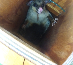 Possum - Pale Headed Box - 26 Dec 2013 crop