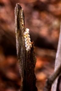 Common Gum Tree Shield Bug - egg capsules - 24 March 2014