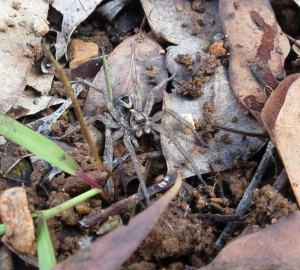 Dark Wolf Spider - front - 31 March 2014