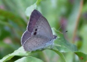 Small Dusky-blue - 2 March 2014