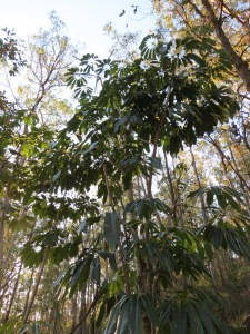 Source of infection - mature Umbrella Tree