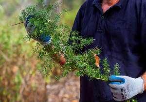 Asparagus Fern - seeds - close - 3 June 2014 - Alan Moore
