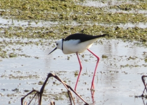 Black-winged Stilt - 20 June 2014
