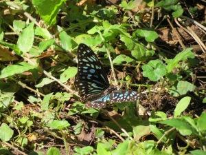 Blue Tiger - female - 24 Aug 2013