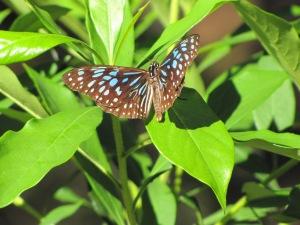 Blue Tiger - male - 17 Oct 10