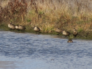 Grey Teal - Mother of Ducks Lagoon - 20 June 2014