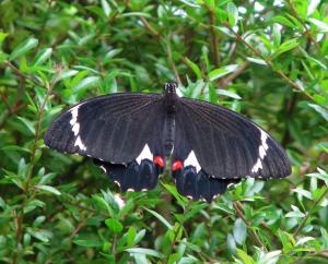 Orchard Swallowtail - Male - Apr10