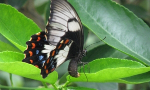Orchard Swallowtail - Nov 08