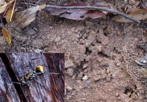 Golden-tailed Ant nest - 23 Aug 2014
