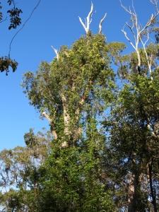 Pandorea pandorana - tree - 24 Sept 2014