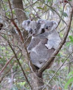Koala Mum & Joey