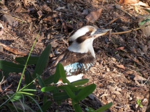 Kookaburra - 15 Oct 2014