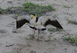 Masked Lapwing - defending nest - 2 Sept 2014