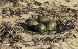 Masked Lapwing nest with camouflaged eggs