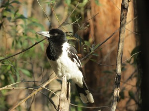 Pied Butcherbird - 15 Oct 2014
