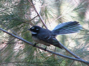 Grey Fantail - 28June10 crop