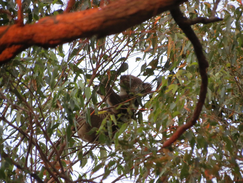 Tallowwoods Eucalyptus Microcorys