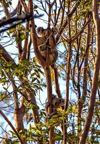 Koala Mum and joey - Fox Gully - Alan Moore - 9 Nov 2014 - lowres