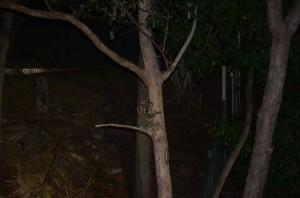 Koala Mum and joey - Fox Gully - Barry Flower - 9 Nov 2014