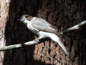 Grey Butcherbird - 27 Feb 2015