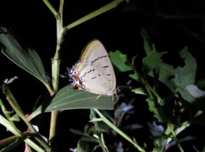 Imperial Hairstreak - roosting - 4 Feb 2015
