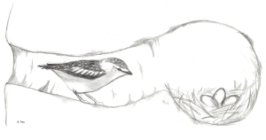 Spotted Pardalote - nest - A Fox drawing