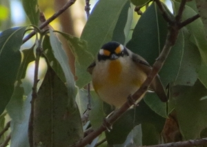 Striated Pardalote - 28 Jun 2014 crop