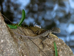 Water Dragon - 16 Oct 2014
