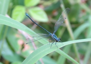 Damselfly - 30 Mar 2015