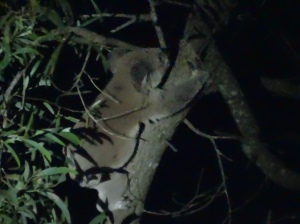 Koala - Fox Gully - 27 Feb 2015
