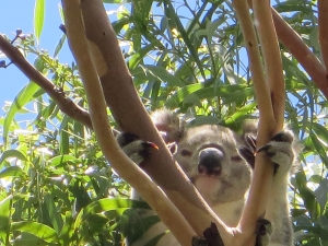 Koala - Mt Gravatt Campus - 23 Feb 2015 - Michael McGeever