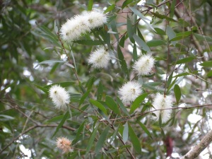 Willow Bottlebrush -Flower - 20 Mar 2015