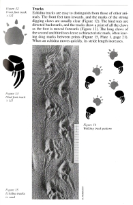 Echidna tracks - Triggs - Tracks, Scats & other traces