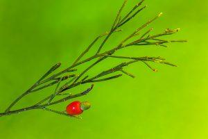 Exocarpos cupressiformis - fruit - 25 April 2015 - Alan Moore - low res