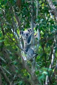 Koala - 17 Jun 10 A Moore