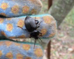 Snail-eating Carabid - 21 Mar 2015
