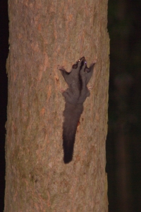 Squirrel Glider - A Moore - 21 March 11