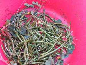Easter Cassia seed pods - 15 May 2015